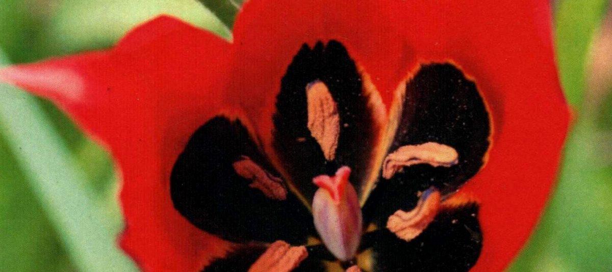 Tulipe d'Agen à Villebramar